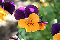 Blumen zu Ostern 2015